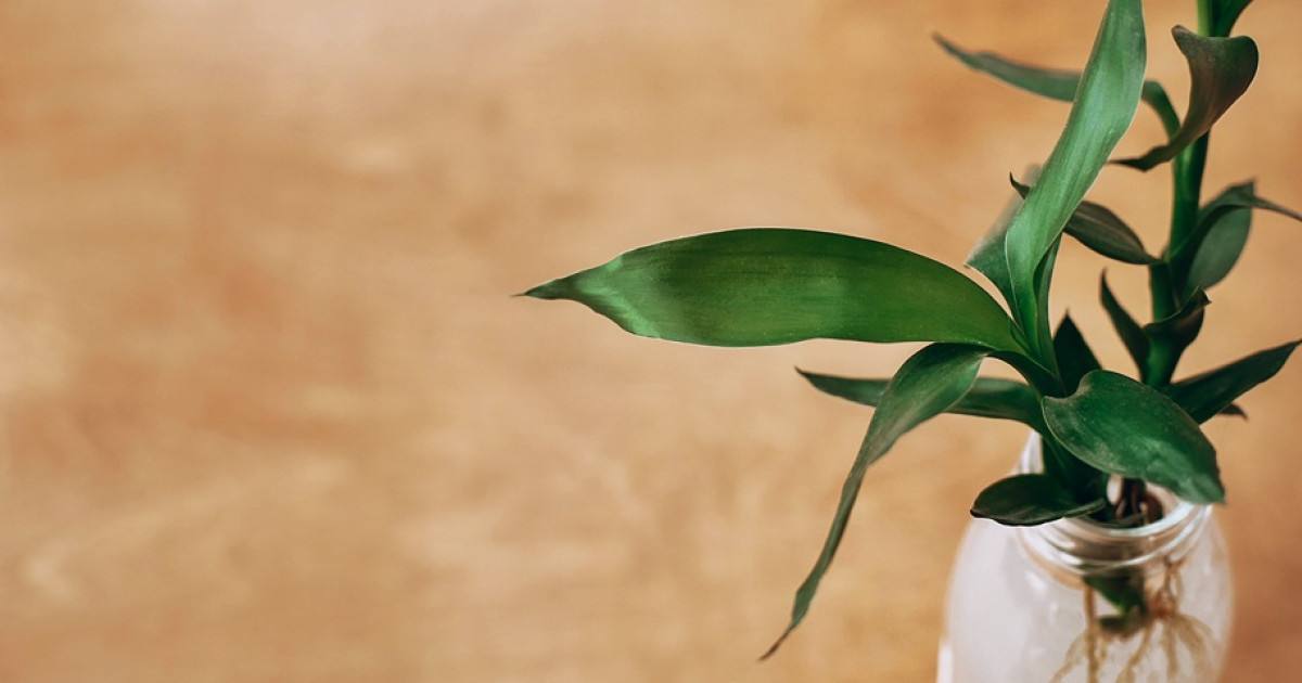 Hogyan neveljük a Ti növényt (Jó szerencsét Növény)