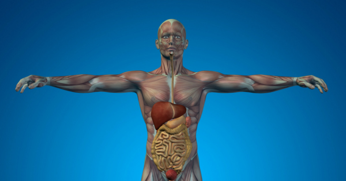 a kukoricaféreg elhelyezkedése az emberi testben)