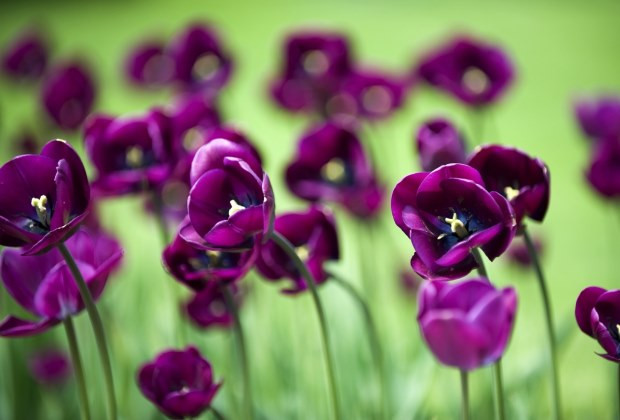 Sötétlila tulipánok
