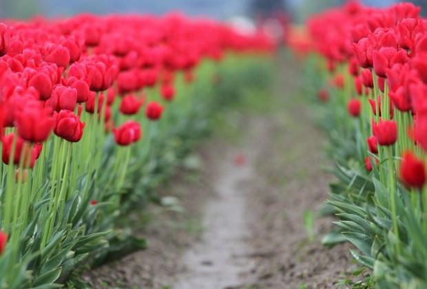 Ösvény a tulipánmezőn