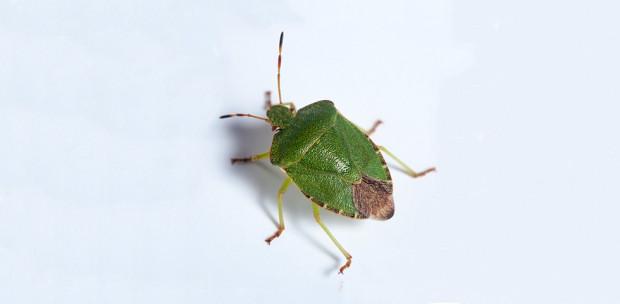 Jön a poloskainvázió: Így védekezz a büdös bogarak ellen