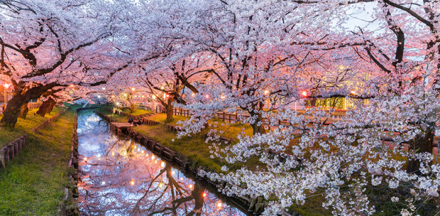 Ennél szebbet ma már nem fogsz látni - Hanami, a japán cseresznyefa virágzás ünnepe