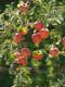 5. Gyümölcsfák ültetése  A gyümölcsfák ültetését még az első fagyok előtt el kell végezni. Kisebb méretű kertbe válasszunk törpenövekedésű vagy orsó lombkoronájú gyümölcsfákat. Ültetés előtt 1-2 héttel ássunk legalább 60-80 cm mély gödröt, amibe szórjunk szarvasmarhatrágyát és komposztot, majd szórjunk rá földet, hagyjuk ülepedni. A facsemetét az ültetés előtti napon áztassuk egy napig vízbe, hogy pótoljuk a hiányzó vízmennyiséget. Helyezzük a facsemetét óvatosan a gödörbe úgy, hogy a törzsén látható szemzéshely a talajfelszín felett néhány centiméterrel legyen, majd temessük be az ültetőgödröt laza, porhanyós földdel, és öntözzük be körülötte a talajt. Kisebb fák esetében, illetve szélnek jobban kitett helyen, szúrjunk támasztékot a facsemete mellé, és óvatosan kötözzük hozzá.