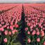 Az Amszterdamhoz közeli Haarlem nevű városa tulipánok fő kereskedelmi központja volt. Ma is csodálatos tavasszal.
