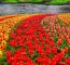 A Lisse melletti 32 hektáros Keukenhof a világ legnagyobb virágoskertje, amelybenévente körülbelül 7 millió virághagymát ültetnek el.