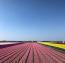 Az Európa kertjeként is ismertKeukenhofban 100 nemesített tulipánfajta tündököl.