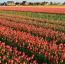 A Keukenhof kert 1949-benjött létre azért, hogy az európai virágtermelők bemutathassák a termékeiket.