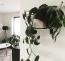 A szív alakú leveleiről híres filodendron közkedvelt szobanövény, mivel könnyű életben tartani és nagyon dekoratív. Emellett szintén stresszoldó, a legjobb benne pedig, hogy szinte bárhová elhelyezhetjük a lakásban.