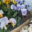 IBOLYA -Tavasszal az elsők között megjelenő ibolya a védett helyeket kedveli, ezért a lakásban nagyon jól érzi magát. Ha nagyobb cserépbe ültetik, a tavasz végén akár dupla annyi virágot is hozhat. Szereti a tápanyagban gazdag földet.