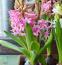 JÁCINT - A virág nem csak szépsége, de gyors fejlődése miatt is közkedvelt. Gyakran úgy kapható, hogy a takarólevelek alól még nem bújtak a bimbók, de pár hét alatt szárba szökken. A félárnyékos helyet kedveli, és ne öntözzük túl, mert kirohad a hagymája.