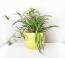 A zöldike vagy csokrosinda (Chlorophytum comosum) is a levegőtisztító növények közé sorolható, szintén könnyű fenntartani, és ugyancsak nyugtató. Szereti a világos helyeket, jól tűri a hideget, két öntözés között pedig jó, ha hagyjuk kiszáradni a földjét.