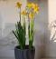 NÁRCISZ - A nemesítésnek köszönhetően már nem csak a kertben, hanem virágcserépben is jól érzi magát, ha sok napfényt kap. A tulipánnal ellentétben itt figyelni kell, hogy az elvirágzás után ne vágjuk le a zöld részeket, mert akkor a hagyma elhal.