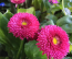 SZÁZSZORSZÉP -A nemesített verziója egyre gyakrabban feltűnik a virágárusok kínálatában. Pompomszerű virágai a fehértől a sötét rózsaszínig nagyon változatos árnyalatúak lehetnek. Ellenáll a betegségeknek, de a tűző napot és a pangó vizet nem kedveli.