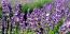 Agárdon, közvetlenül a Velencei-tó mellett, a Dongó kert jóvoltából levendulát is gyűjthetsz. Az Agárdi Gyógy- és Termálfürdő mellett található ültetvény június 26. és július 11. között hétvégenként szedhető. A kis szedőzacskó 1000, a nagy 3000 forintba kerül, amihez 500 forintos látogatójegy is szükséges. Nyolcéves kor alatt a belépés ingyenes.