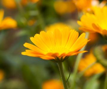 Ez a virág a pattanások gyilkosa - Kevesen ismerik hihetetlen hatásait