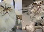 Ilyen viccesen festenek a macskák fürdés előtt és után