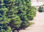 Így válassz tökéletes fát karácsonyra