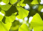 Lassítja a szellemi hanyatlást és kiváló stresszoldó - Ennek a fának a levele igazi csodaszer
