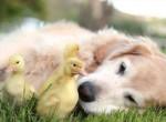 Állati fogócska - Így kergetőzik egymással a kacsa és a kutya