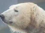 Szívszorító látvány - Emberek közt keresnek élelmet a jegesmedvék