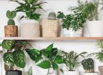 Egy szobanövény, ami szinte minden betegségünkre gyógyír - Kitalálod, hogy melyik?