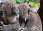 Már csak az állatkertben találkozhatsz velük - Kihaltnak nyilvánították a koalákat
