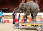 Cirkuszi mutatványokban halt meg Dumbo, a kis elefánt!