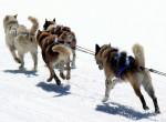 Ijesztő valóság: Kép készült a hó helyett vízben gázoló szánhúzó kutyákról Grönlandon