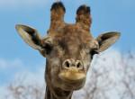 """Már ők is veszélyben vannak: """"Csendesen"""" kihalhatnak a zsiráfok"""