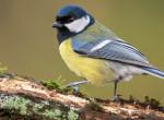 Fecskék és cinegék sem bírják tartani a tempót a klímaváltozással: Veszélyben van több madárfaj