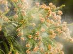 Te tudod, hogy mikor mi virágzik? Íme az ország pollentérképe