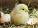 A világ legtitokzatosabb kérdését végre megválaszolták: mi volt előbb a tyúk vagy a tojás?