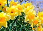 10 dolog, amit még senki nem mondott el neked a nárciszokról