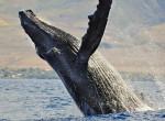 Megdöbbentő felfedezés - Megtalálták a világ legnagyobb bálnáját