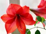 Unod a mikulásvirágot? 5 növény, amivel karácsonyt varázsolhatsz a lakásba