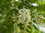 Te is megetted gyerekként az akácfa édes virágát? Ha igen, ezt mindenképp tudnod kell