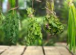Így szárítsd ki a fűszerkerted növényeit - Egészséges ízesítő és tea lehet belőle