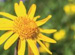 Duzzanatra, gyulladásra, izomfájdalomra - Ez a nyár gyógyító virága, az árnika