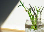 Növeld a szerencséd - Így nevelj bambuszt az otthonodban