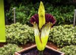 Ez a világ legkülönlegesebb virága, mégsem akarja senki a közelében látni