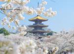 Mesés látvány: Így virágoznak a cseresznyefák Vuhanban – Videó