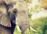 A világ legmagányosabb elefántja 35 év után szabadul meg a láncaitól