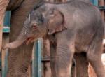 Így nevezik el a budapesti állatkert kiselefántját