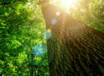 Hihetetlen! 1230 éves Európa legöregebb fája, de köszöni, jól van