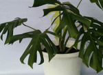 Filodendron: minden, amit a strapabíró növény gondozásáról tudni kell