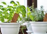 Jobbak, mint a kaktuszok: 9 fűszernövény, amit egész évben tudsz termeszteni