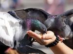 Videó: egy galamb falatozott a budapesti elit étterem teraszán