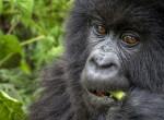 Gólyahír: Gorillabébi született a budapesti állatkertben