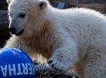 Egy focicsapatról kapta a nevét a berlini jegesmedvebocs