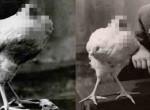 A kakas, ami 18 hónapig élt fej nélkül